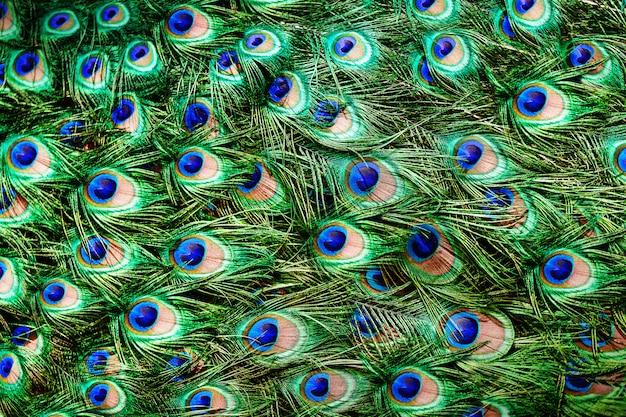 Kolorowe pawie pióra