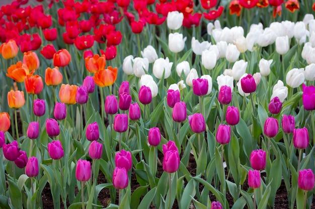 Kolorowe pola tulipanów w ogrodzie