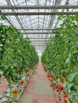 Kolorowe pomidory (warzywa i owoce) rosną w krytej farmie/pionowej farmie.