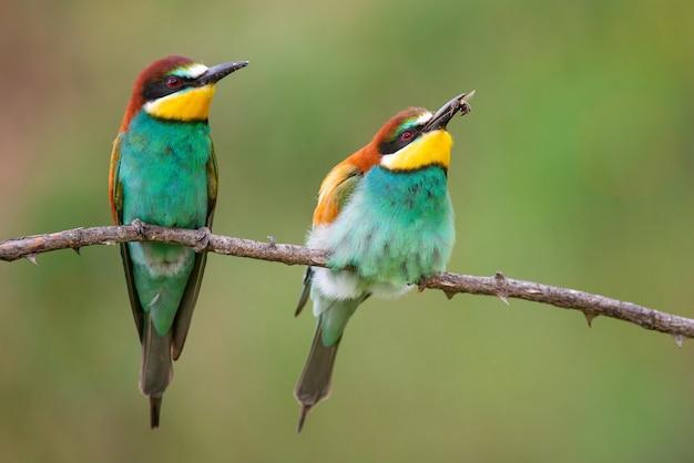 Kolorowe ptaki - żołna zwyczajna (merops apiaster) siedzi na patyku na pięknym tle.