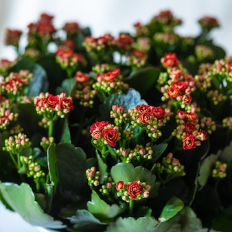 Kolorowe rośliny kwiat lantana camara z bliska