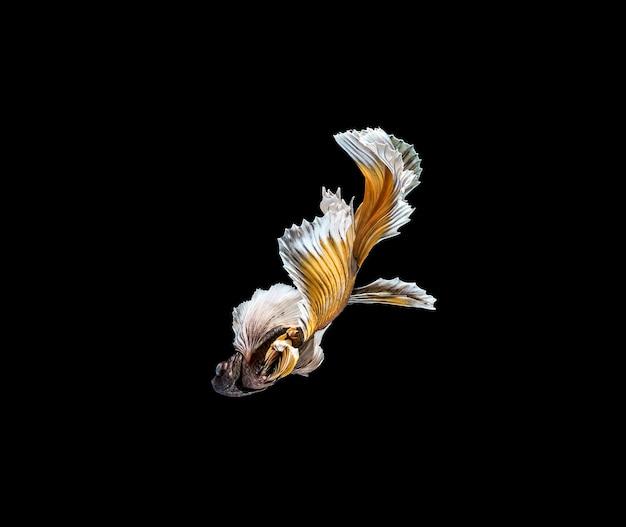 Kolorowe ryby betta, bojownik syjamski w ruchu na białym tle na czarnym tle