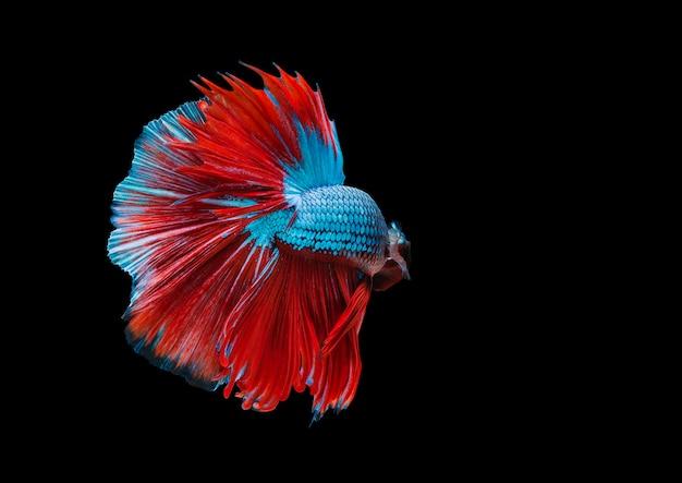 Kolorowe ryby betta, bojownik syjamski w ruchu na czarnym tle.