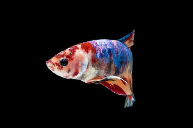 Kolorowe ryby betta. piękne bojownik syjamski, lampart ozdobny betta splendens nemo na czarnym tle.