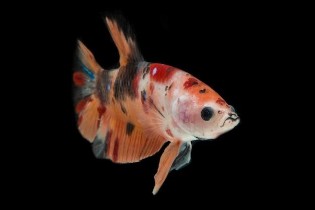 Kolorowe ryby betta. piękne bojownik syjamski, podstawa żółty nemo na czarnym tle.