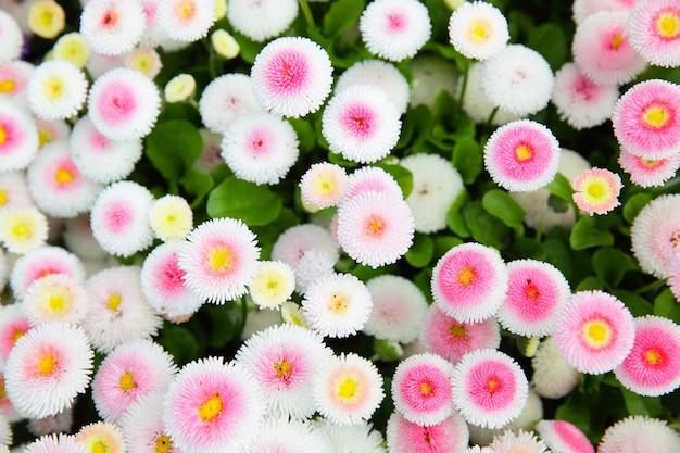 Kolorowe stokrotki (bellis perennis) w ogrodzie. płytkie dof!