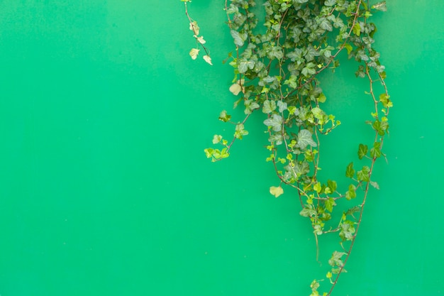 Kolorowe tło z rośliną tropikalną. zielone tło z zielonym bluszczem w słońcu. skopiuj miejsce