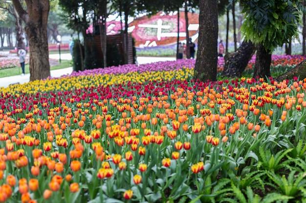 Kolorowe tulipany kwitną w wietrzny wiosenny dzień.