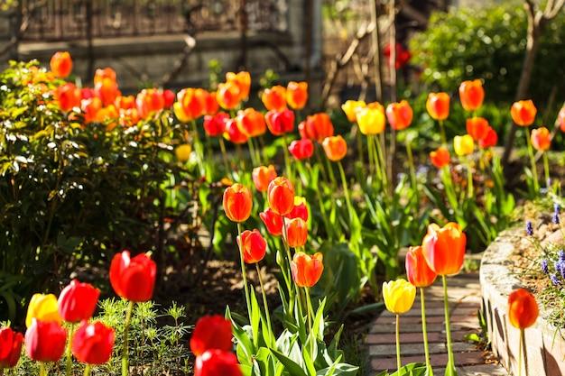 Kolorowe Tulipany Na Kwietniku Premium Zdjęcia