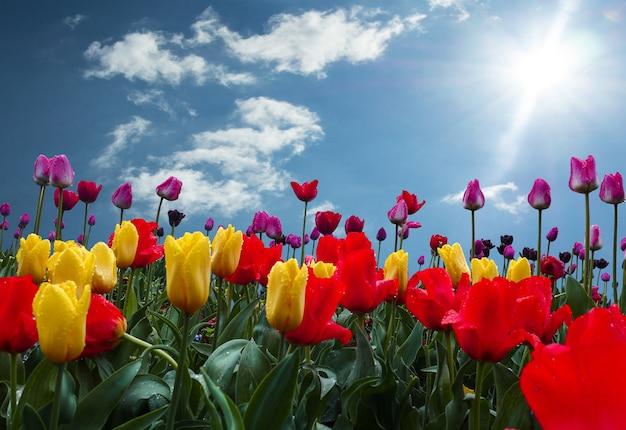 Kolorowe tulipany na niebieskim niebie z chmurą i światła słonecznego tłem
