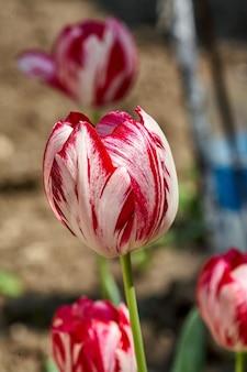 Kolorowe tulipany w ogrodzie. wiosenne kwiaty.