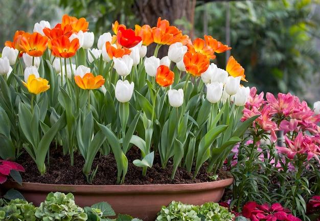 Kolorowe tulipany w puli kwiatu