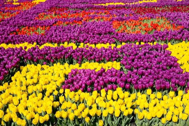 Kolorowe tulipany w wiosennym parku