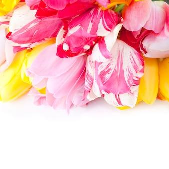 Kolorowe tulipany z bliska na białym do projektowania wakacyjnego