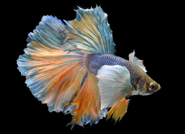 Kolorowe wahanie ryb bojowych betta saimese