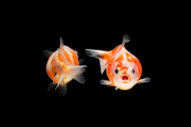 Kolorowe złote rybki na białym tle na czarnym tle