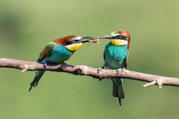 Kolorowe żołny dzielące się jedzeniem na gałęzi drzewa