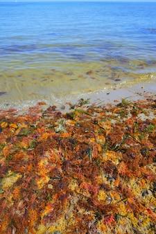 Kolorowe żółte czerwone wodorosty morskie algi