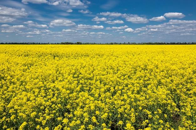 Kolorowe żółte wiosenne pola rzepaku, rzepaku lub rzepaku w słoneczny dzień z pięknym błękitnym niebem z białymi chmurami