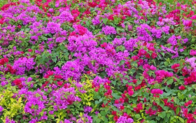 Kolorowego bougainvillea papierowy kwiat w ogródzie