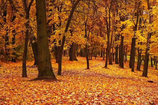 Kolorowej jesieni klonowi drzewa w parku