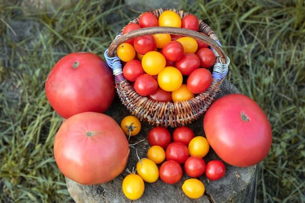 Kolorowi pomidory, czerwień, kolor żółty, pomarańcze na nieociosanym drewnianym tle. pomidory czereśniowe w koszu.