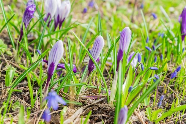 Kolorowi purpurowi krokusy i błękitni cebulicy siberica kwiaty kwitną w pogodnym wiosna dniu w gardenv