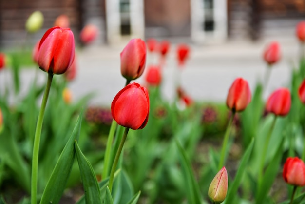Kolorowi tulipany kwitną kwitnienie w ogródzie