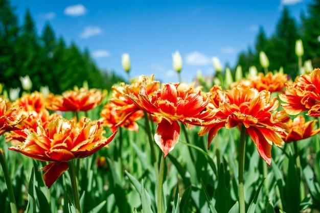 Kolorowy czerwono-pomarańczowy tulipan kwitnie na flowerbed w miasto parku