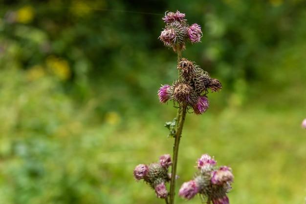 Kolorowy dziki oset, wspaniały purpurowy kwiat w środowisku naturalnym