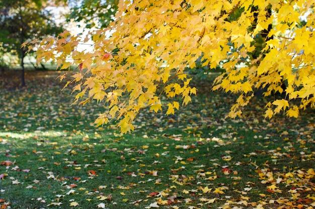 Kolorowy jesienny klon i opadłe żółte liście leżące na trawie