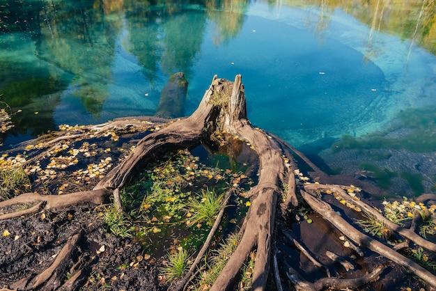 Kolorowy jesienny krajobraz z pniakiem w czystej wodzie turkusowego jeziora z odbiciem żółtych drzew w słońcu. górskie jezioro w złotych jesiennych barwach. niezwykłe przezroczyste jezioro w okresie jesiennym.
