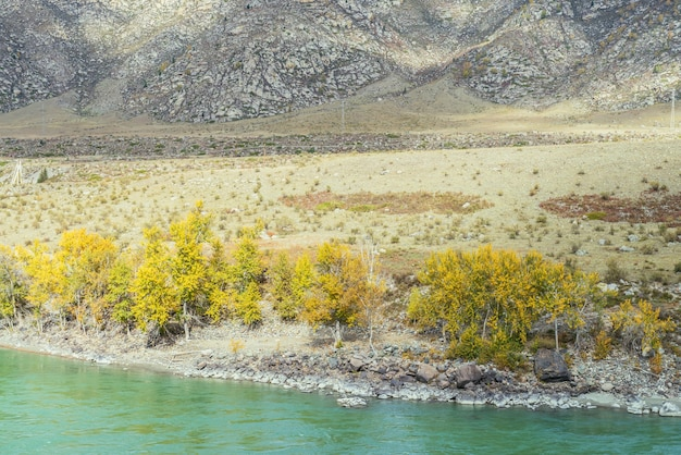 Kolorowy jesienny krajobraz ze złotymi liśćmi na drzewach wzdłuż szerokiej turkusowej górskiej rzeki w słońcu. jasna alpejska sceneria z dużą górską rzeką i żółtymi drzewami w złotych jesiennych kolorach jesienią