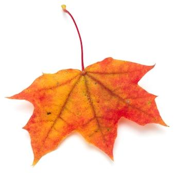 Kolorowy jesienny liść klonu na białym tle