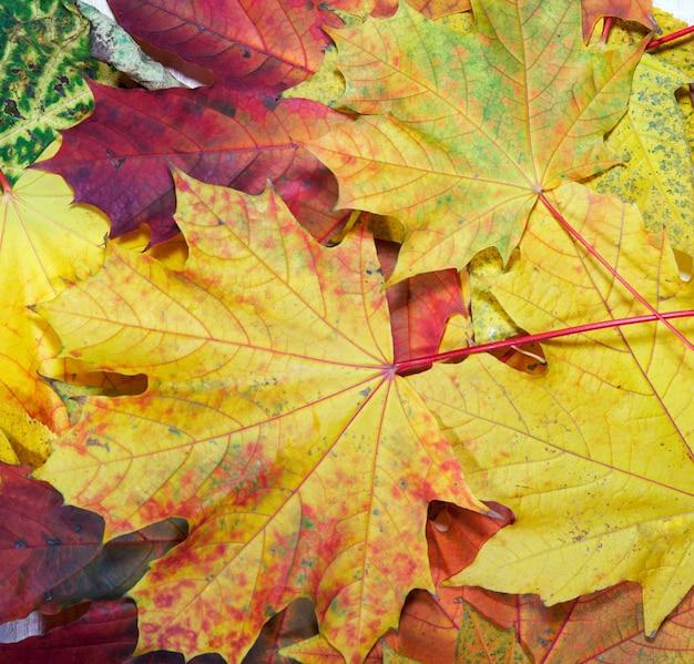 Kolorowy jesienny liść klonu tło