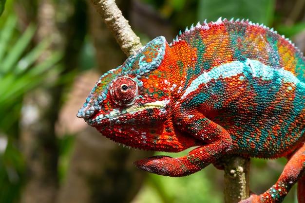 Kolorowy kameleon na gałęzi w parku narodowym na wyspie madagaskar