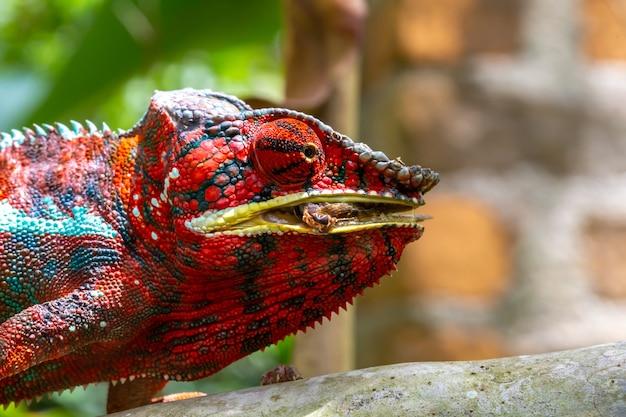 Kolorowy kameleon na gałęzi w przyrodzie