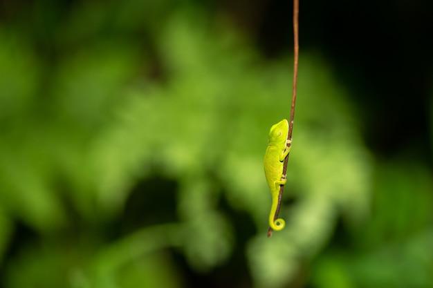 Kolorowy kameleon w zbliżeniu w lesie deszczowym na madagaskarze.