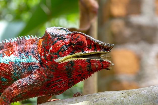 Kolorowy kameleon z bliska w lesie deszczowym na madagaskarze.