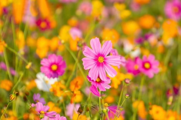 Kolorowy kosmos kwitnie w ogródzie.