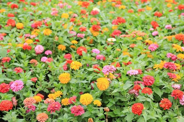 Kolorowy kwiat cynia w ogrodzie.