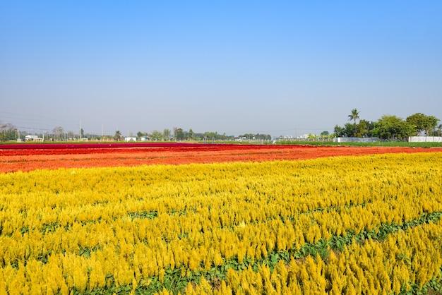 Kolorowy kwiat ogród krajobraz kwiat pole z farmą roślin żółtych i czerwonych
