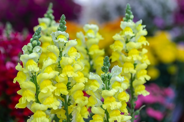Kolorowy kwiat snapdragon