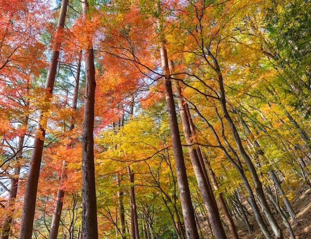 Kolorowy liści klonu w sezonie jesiennym