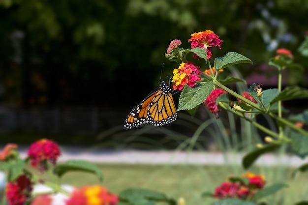 Kolorowy monarchiczny motyli karmienie na kwiacie