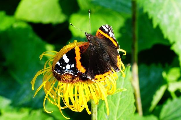 Kolorowy motyl na słoneczniku