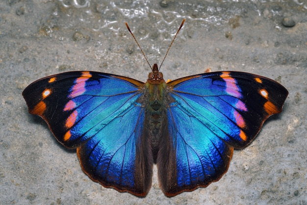 Kolorowy motyl siedzący na karmieniu ziemi