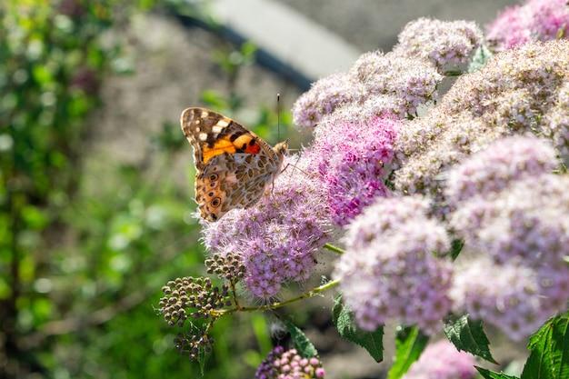 Kolorowy motyli karmienie na kwiatu zakończeniu w górę selekcyjnej ostrości
