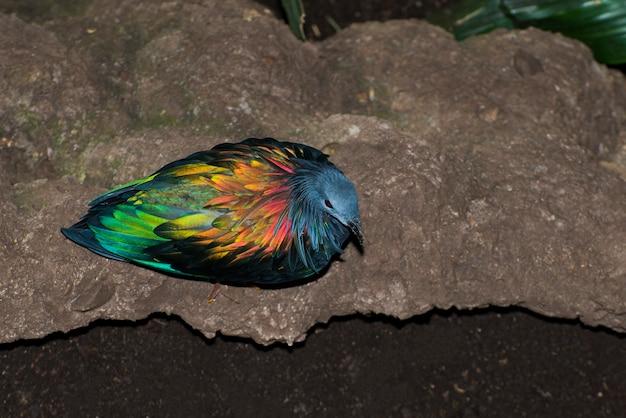 Kolorowy Naziemny Gołąb Nicobar, Caloenas Nicobarica Siedzący Na Ziemi Premium Zdjęcia