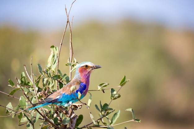 Kolorowy ptak siedzi na drzewie na sawannie w kenii